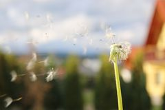 Dandelion blowing seeds in the wind. In the garden Stock Photography