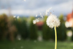 dandelion blowing seeds in the wind Royalty Free Stock Photos