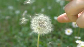 Dandelion blowing, slow motion. Close-up stock footage