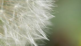 Dandelion Blowing in The Wind. Macro video of dandelion flower. Dandelion seeds stock video