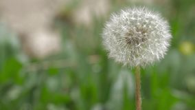 Dandelion Blowing in The Wind. Macro video of dandelion flower. Dandelion seeds stock footage