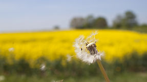 A dandelion blowing in the wind, very shallow dof. A seed head of a dandelion blowing in the wind, with the focus on the flower - yellow field in the background stock photos