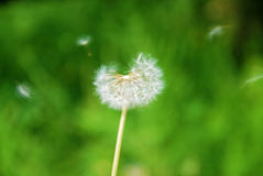 Dandelion blown by the wind. Blooming dandelion flower blown by the wind Royalty Free Stock Images