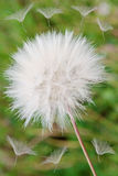 Dandelion blown in the wind. Stock Photography