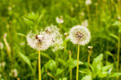 Dandelion blown by the wind on a meadow, in a sunny day royalty free stock photos
