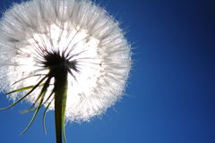 Dandelion on Blue Royalty Free Stock Images