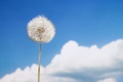 Dandelion on blue Royalty Free Stock Image