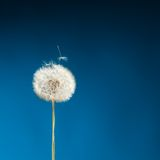 Dandelion on blue Stock Photography