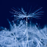 Dandelion blue Stock Images