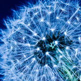 Dandelion blue Stock Photo