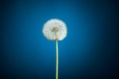 Dandelion on blue Stock Photo
