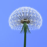 Dandelion on blue. Flover dandelion on blue background Royalty Free Stock Images
