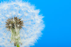 Dandelion on a blue background Royalty Free Stock Photos