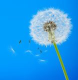 Dandelion on a blue background Stock Photography