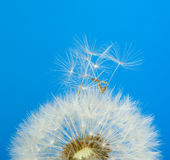 Dandelion on a blue background Stock Images