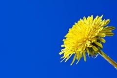 Dandelion on blue background Royalty Free Stock Images