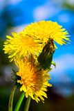 Dandelion on blue background Royalty Free Stock Images