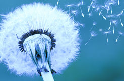 Dandelion on blue background Stock Photography
