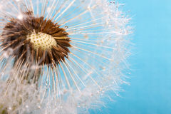 Dandelion on a blue background. Air flower Stock Photo