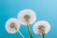 Dandelion on a blue background. Air flower Royalty Free Stock Photo