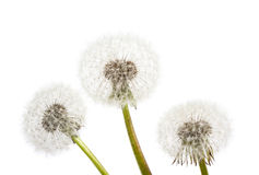 Dandelion on a blue background. Air flower Stock Photography