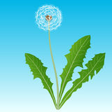 Dandelion on a blue background Royalty Free Stock Images