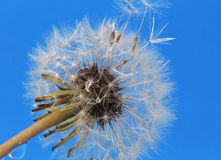 Dandelion on blue background Royalty Free Stock Photo