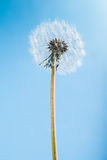 Dandelion on blue Royalty Free Stock Photos