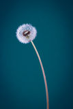 Dandelion on blue Royalty Free Stock Photography
