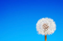 Dandelion on blue sky Royalty Free Stock Photo