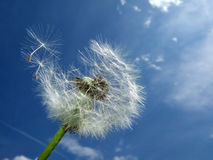 Dandelion, blue sky Royalty Free Stock Image