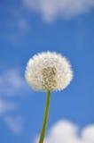Dandelion and blue sky Stock Photos