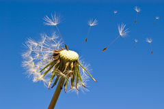 Dandelion on blue sky Stock Photography