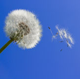 Dandelion and blue sky stock photo
