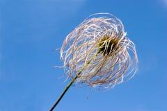 Dandelion on blue sky background. Dandelion seed in early summer  on blue sky background Stock Photo
