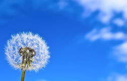 Dandelion on the blue sky background. Stock Photo