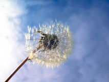 Dandelion on a blue sky Stock Photo