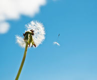 Dandelion on blue sky background Royalty Free Stock Images