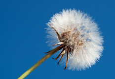 Dandelion on blue sky. Close up of a white fluffy dandelion against a clear blue sky Stock Photos