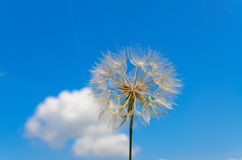 Dandelion and blue sky Royalty Free Stock Photography