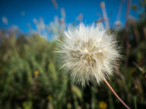Dandelion and blue sky royalty free stock images