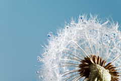 Dandelion blues Royalty Free Stock Photo