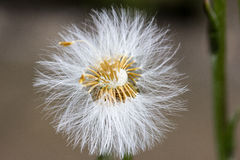 Dandelion. With blur background in grassland Royalty Free Stock Photography