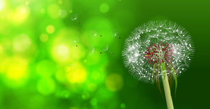 Dandelion on blurred green bokeh background. Royalty Free Stock Image
