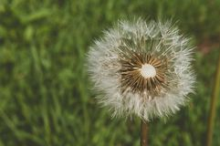 Dandelion with blurred green natural background Stock Images