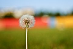 Dandelion. On blurry colored background Stock Photography