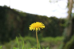 Dandelion. On a blurry field background of tree and grass field royalty free stock photography