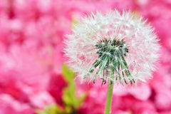 Dandelion on blurry pink background Stock Photography