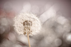 Dandelion with bokeh effect Stock Photography