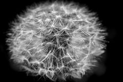 Dandelion, botanical name taraxacum officinale, is a perennial weed Royalty Free Stock Images